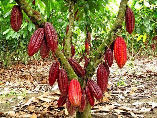 CACAO: Cultivo de gran proyección